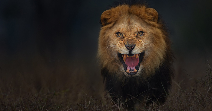 animal-photography-angry-charging-lion-atif-saeed-pakistan-fb__700